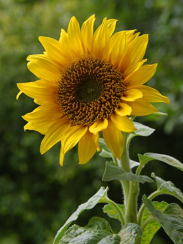 A_sunflower